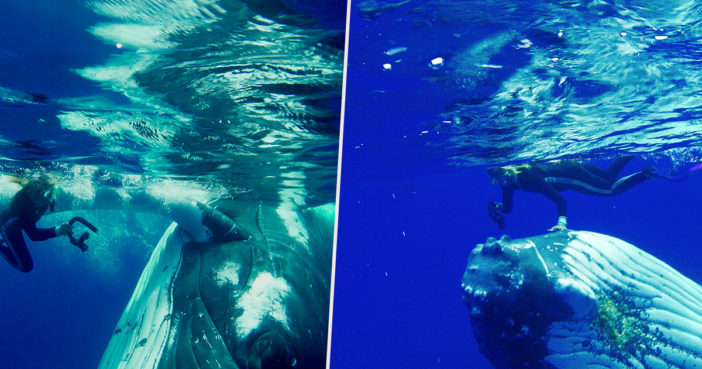 Incredible Moment Whale Saves Snorkeler From Lurking Shark Whale Hero B 702x369
