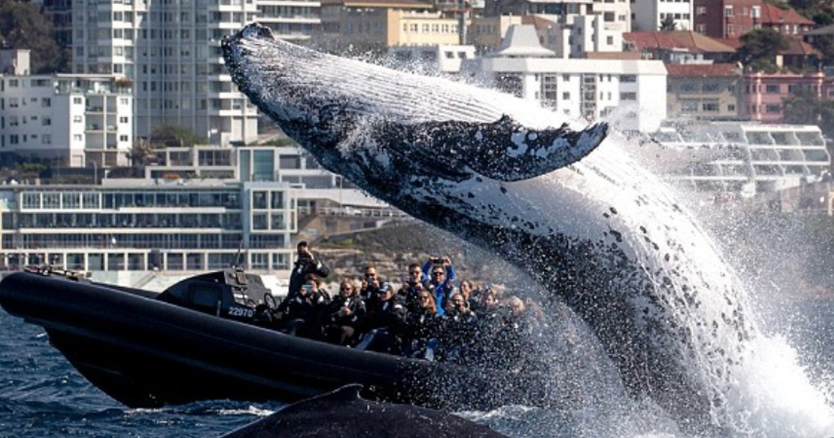 Giant Humpback Whale Leaps Out Of Water In Front Of Stunned Tourists bigwhaleholymoly