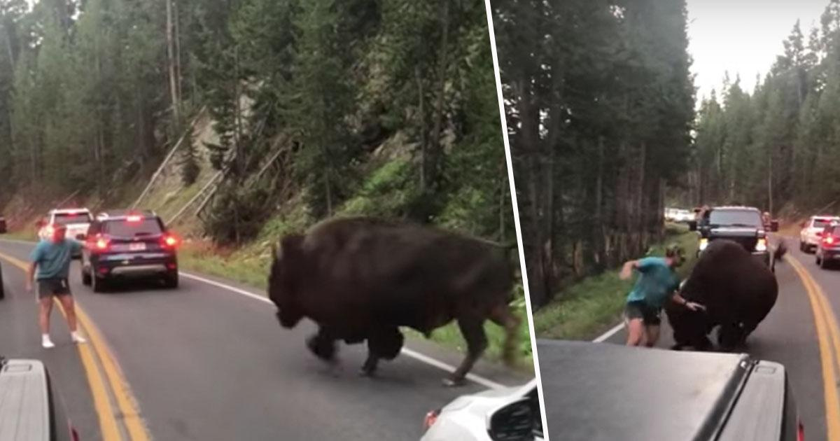 Huge Bison Charges At Man Who Had Been Taunting It In Road bisonVIRALHOG1