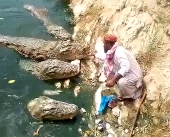 man hand feeds crocodiles