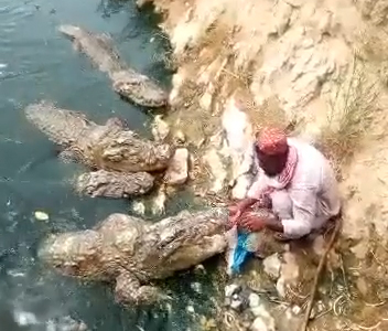 man hand feeds crocodile