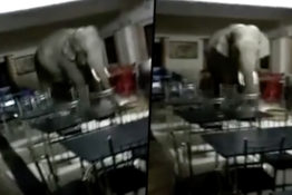Wild Elephant Enters Indian Army Base Looking For Food