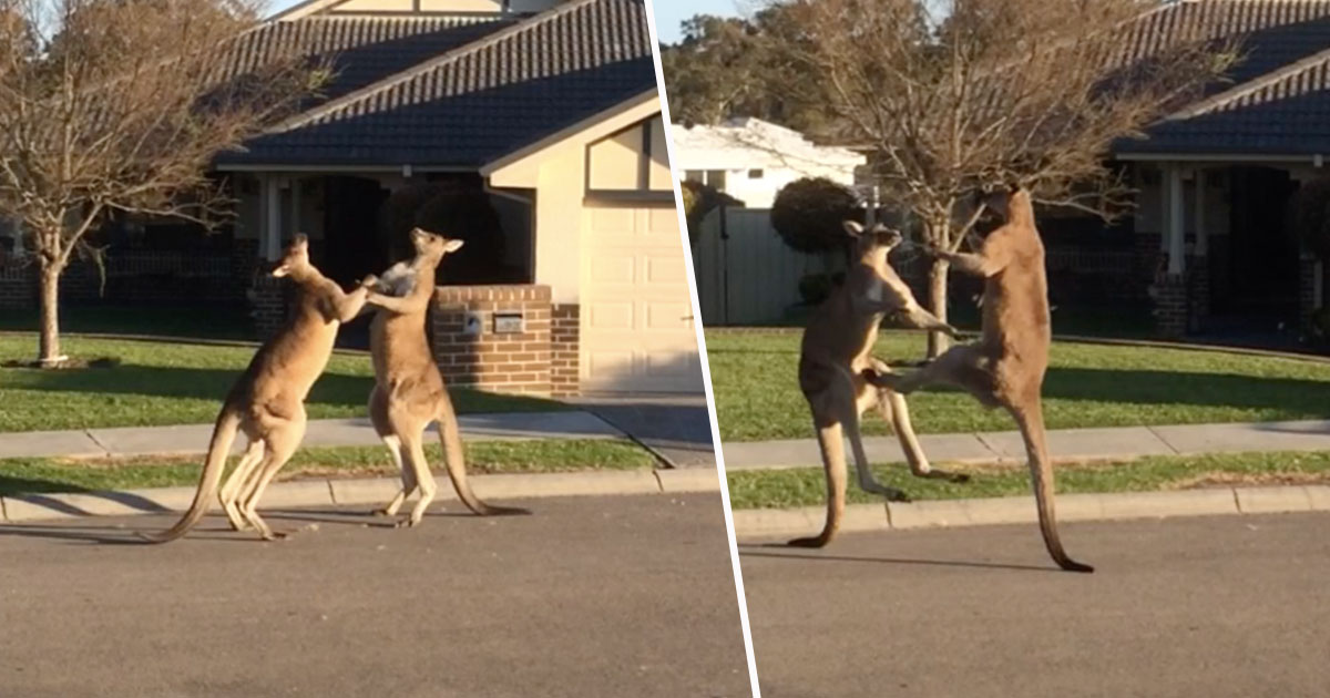 Two Wild Kangaroos Fighting In Street Caught On Camera kangaroos1