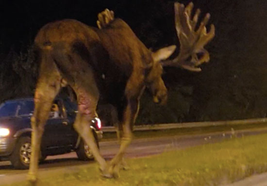 Giant Moose Caught Strolling Down Middle Of Highway moose1