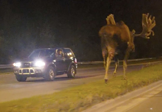 Giant Moose Caught Strolling Down Middle Of Highway moose2