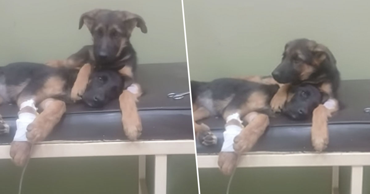 Puppy Brother Comforts Sick Sister At Vets puppy