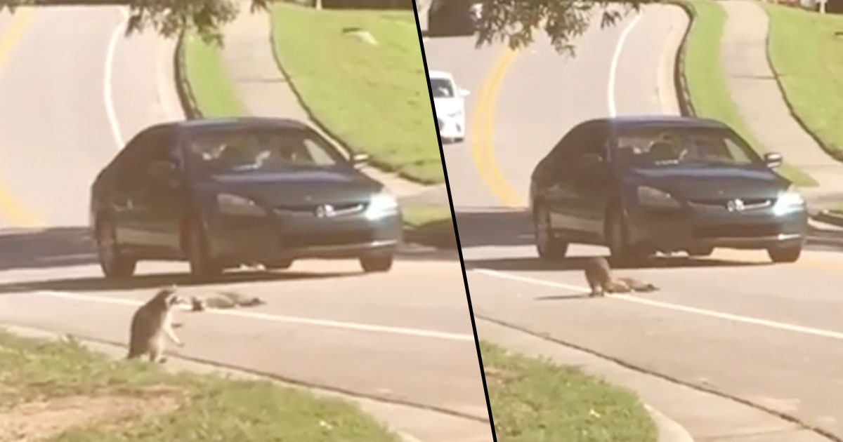 Heartbreaking Footage Shows Raccoon Mourning Over Dead Body Of Ran Over Friend raccoon
