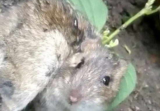 Rat found with plant in its back