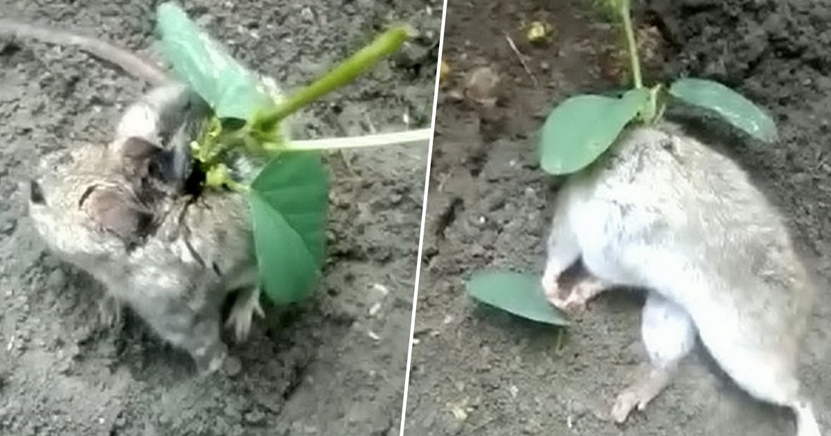 farmer finds rat with plant growing out of its back