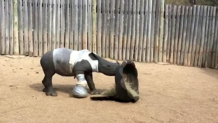 Baby rhino has been adopted by South Lakes zoo.
