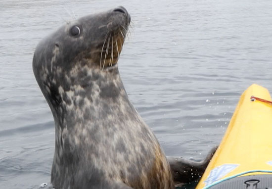 Seal jumps on board kayak