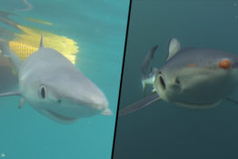 Blue sharks off the coast of Cornwall
