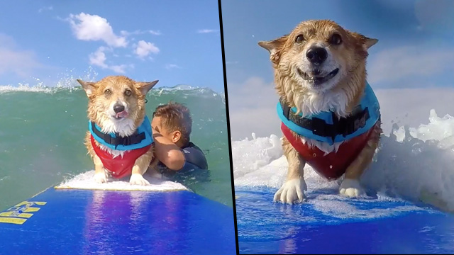 Dog Surfs As Therapy After Horrific Attack Left Him Injured surferdog face
