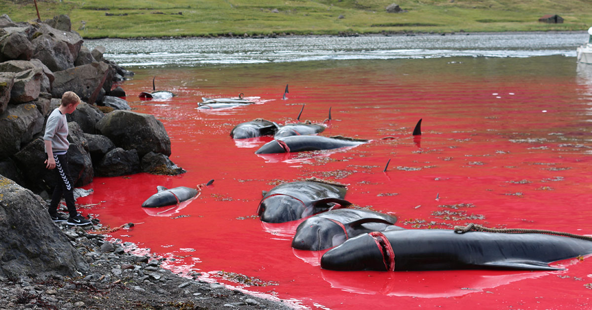 slaughtered whales on beach