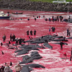 Annual Whale Hunt On Faroe Islands Turns Sea Red With Blood
