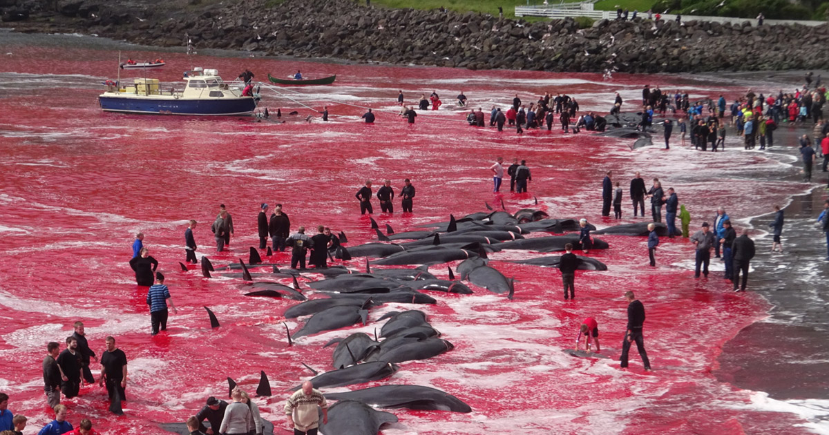 Annual Whale Hunt On Faroe Islands Turns Sea Red With Blood whale fb