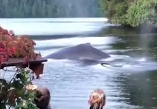 Whales swim up to Canadian lodge