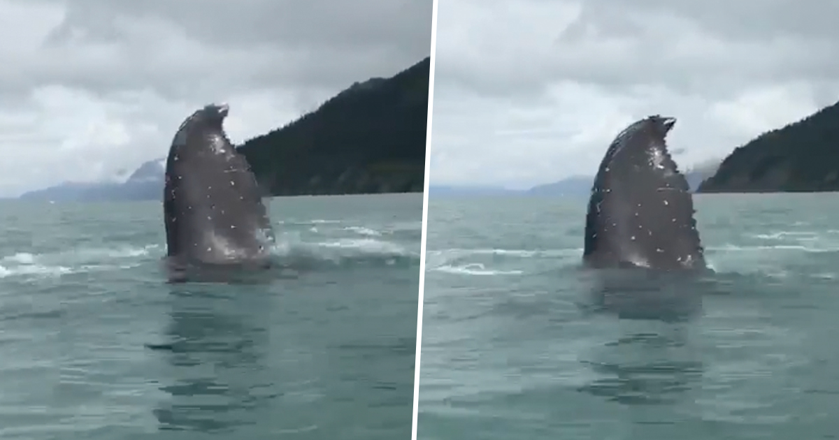 Massive Humpback Whale Astonishes Kayakers Just Off Coast whalethumb