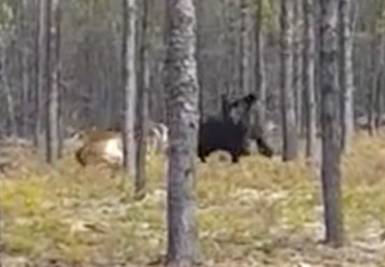 Wolf chases dog through woods
