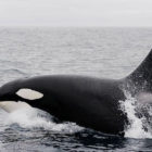 Iceland Halts Whale Hunting For The First Time Since 2003