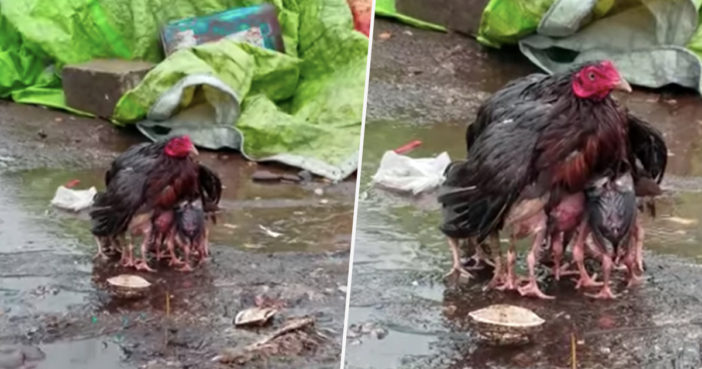Mother hen protects chicks from rain.