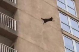 Raccoon jumping from nine story building