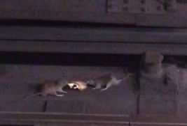 rats pizza fight