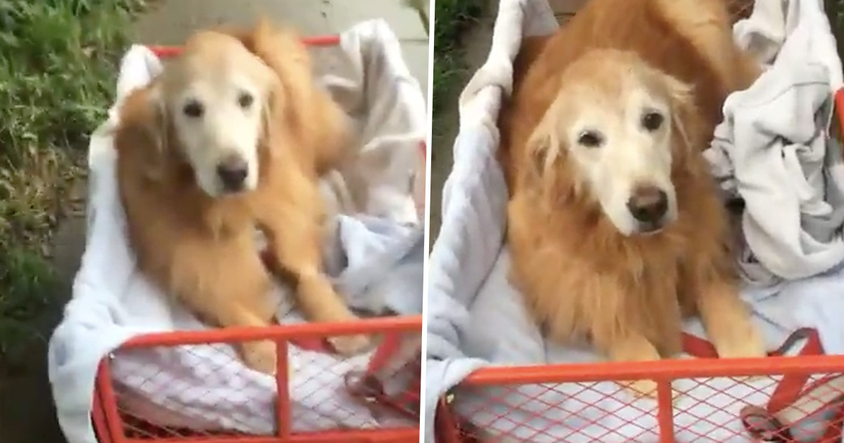 Owner Buys Cart For Dog Who Can't Walk So She Can Still Go On Walkies