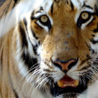 Tiger Population Has Doubled In Nine Years In Nepal