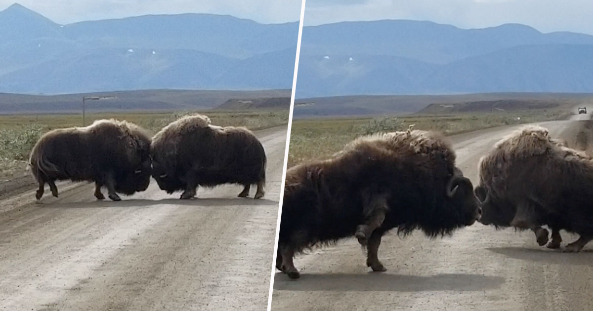 ox fighting in road