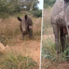 Baby Rhino Playing With Cat And Handler Proves They Are Too Precious To Lose