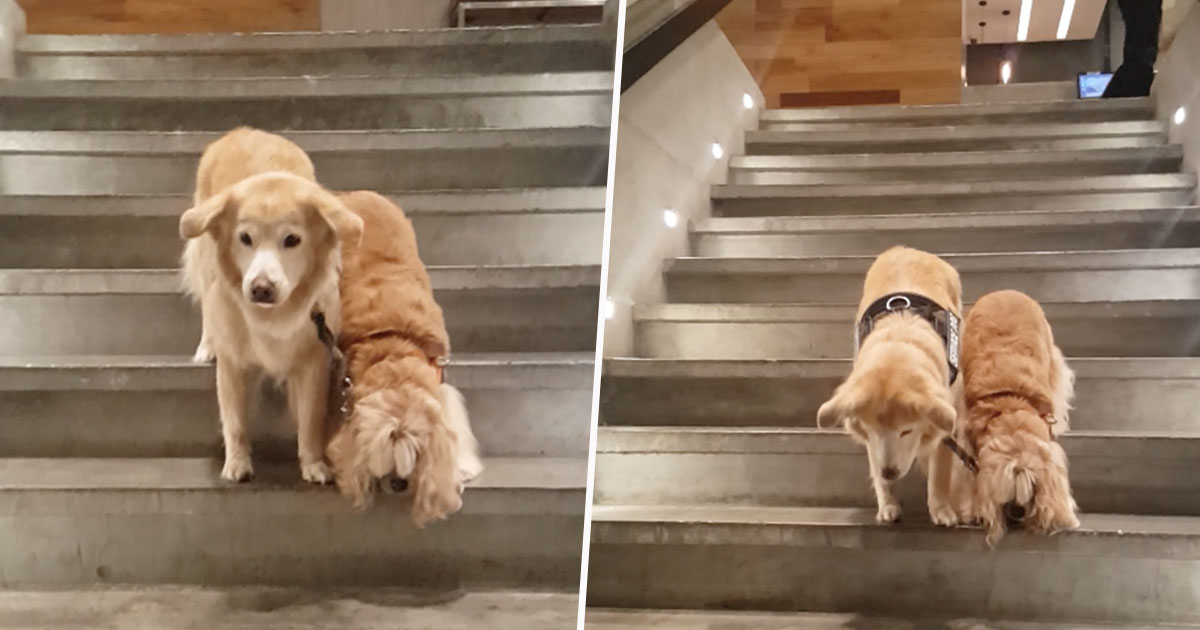 service dog helping blind dog down stairs