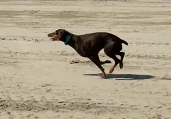 Dog sprints at 30mph