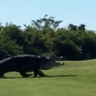 'Monster' Alligator Chubbs Spotted On Golf Course For First Time In 2 Years