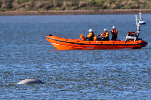 Whale in Thames