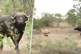 buffalo chases lion