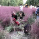 Tourists Completely Destroy Field Of Pink Grass In Search For Perfect Selfie