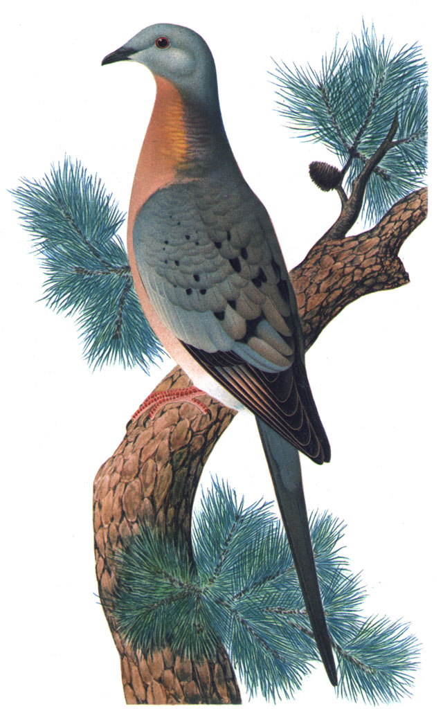 A passenger pigeon, the extinct species which could hold the key to how we bring dinosaurs back to life