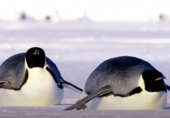 Emperor Penguins Dynasties