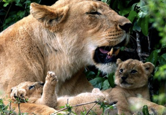 Lion cubs from Dynasties have died.