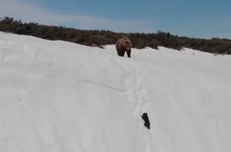 Bear cannot climb mountain!
