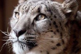 Snow leopard shot dead after escaping zoo.