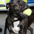 Dog Rescued From Streets Becomes One Of First Police Staffies In UK