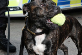 Staffie joins police force.