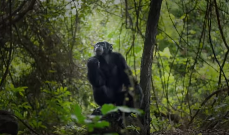 David The Chimp Found 'Beaten To Death' After Dynasties Ended