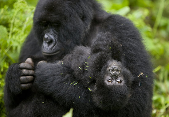 Mountain Gorilla no longer critically endangered