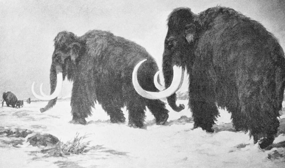Two woolly mammoths, the extinct species which could hold the key to how we bring dinosaurs back to life