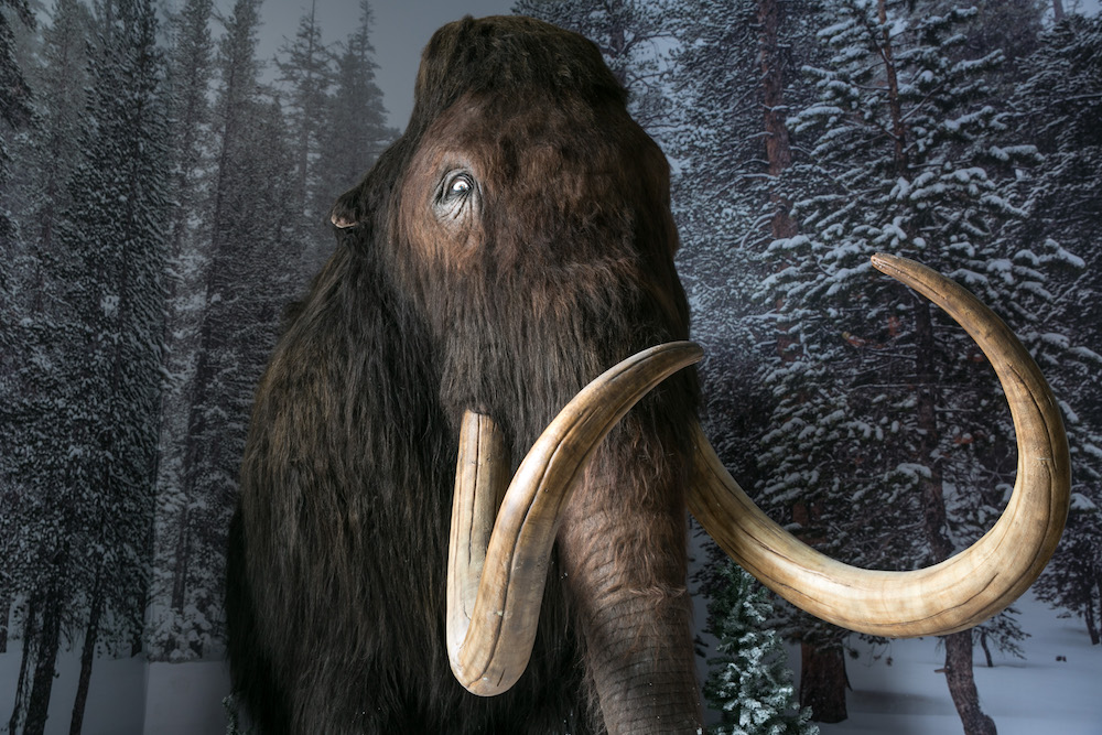 A woolly mammoth, the extinct species which could hold the key to how we bring dinosaurs back to life