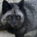 Incredibly Rare Silver Fox Spotted In UK For First Time In 25 Years