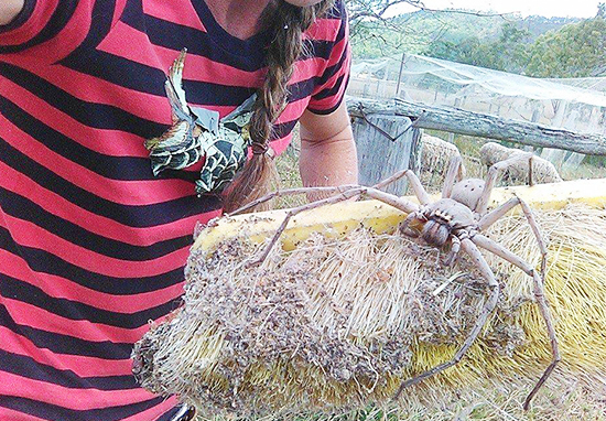 Giant Huntsman Spider